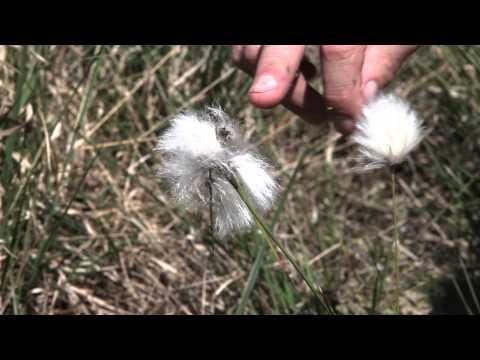 Veenpluis - eenarig wollegras