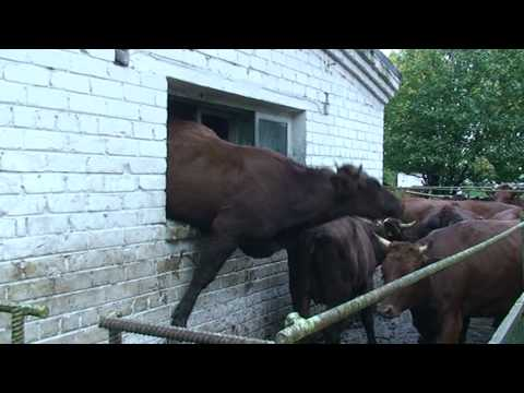Crazy cow jumping through window (REAL)