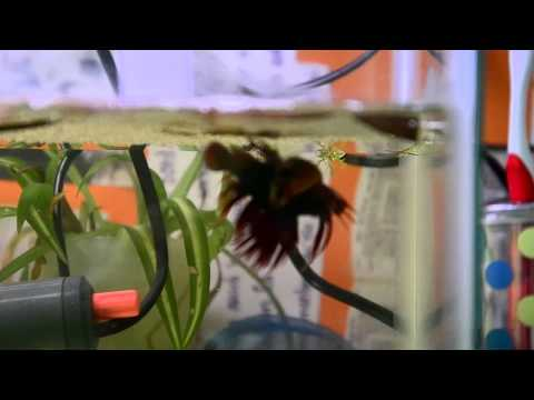 Breeding - Here is a step by step guide to learn all the steps necessary to successfully reproduce the Betta fish. If you have any questions, don't be shy to ask and I'...