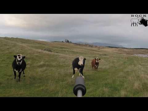 Cattle kill shot compilation