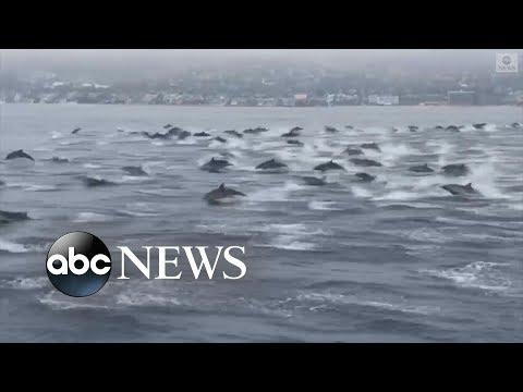 Εντυπωσιακές βουτιές από δελφίνια στην Καλιφόρνια