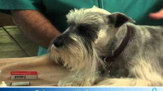 Willard Vet Tutorial: How to administer eye drops to your dog