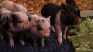 Perfectly Precious Potbelly Pigs | Too Cute! - YouTube