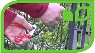How to prune a everblooming climbing rose or a Roseasy miniclimber