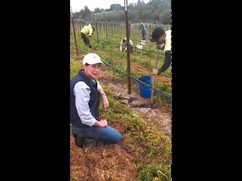 Planting Sauvignon Blanc