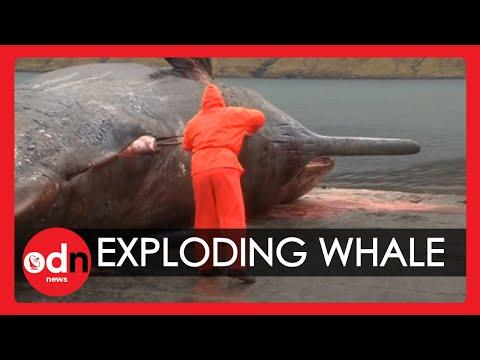 explosión del estómago de la ballena - Esto realmente es bruto!