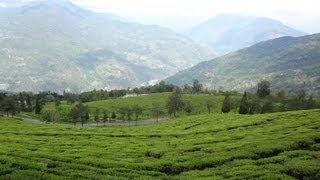 Namchi India  City pictures : Temi Tea Estate Near Namchi in South Sikkim, India.