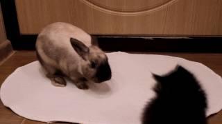 Boxing : Kitten vs Bunny/Бокс:Котенок против Кролика