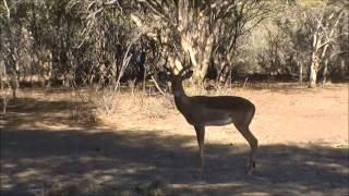 Thabazimbi South Africa  city photos : Impala Ram Bow Hunt - Thabazimbi - South Africa