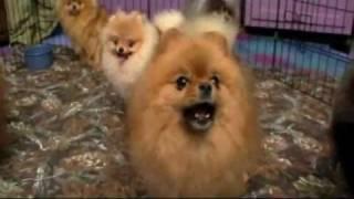 Dogs 101: Pomeranian