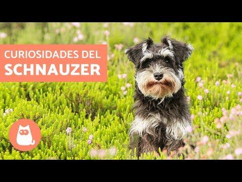 10 cosas sobre los perros SCHNAUZER