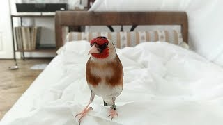 European goldfinch waking up owner