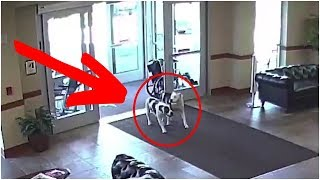 When These Escaped Pit Bulls Walked Into A Hospital, Onlookers Stood Frozen To The Spot by Did You Know Animals?