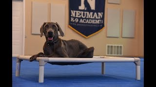 Blue (Weimaraner) graduated from the dog training boot camp at Neuman K-9 Academy. This program included obedience commands to sit, stay, heel or walk on a loose leash, come when called, proper etiquette, no jumping up, meeting and greeting people under control, and running on a treadmill.Our dog training camp provides programs for the Weimaraner such as boot camp, obedience training, and puppy camp.Neuman K-9 Academy is a professional canine training school that provides board and train (inboard) for dogs, and fully trained dogs for sale.For more information visit: www.mndogtraining.comLocated in Hugo Minnesota just north of Minneapolis and St. Paul (MN).