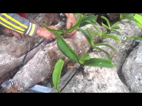 how to grow hoan ngoc