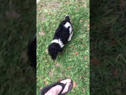 Playful parti pup follows path home