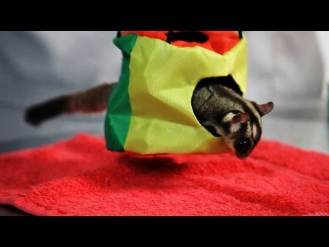 pets - Watch more How to Take Care of a Pet Sugar Glider videos: http://www.howcast.com/guides/929-How-to-Take-Care-of-a-Pet-Sugar-Glider Subscribe to Howcast's You...