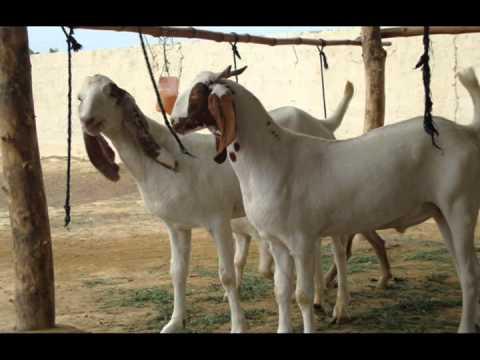 Bakra Mandi 2011 Mashallah Qadri cattle Farm