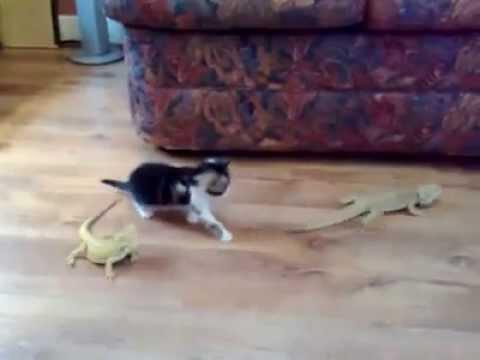 un gattino si spaventa di due camaleonti!