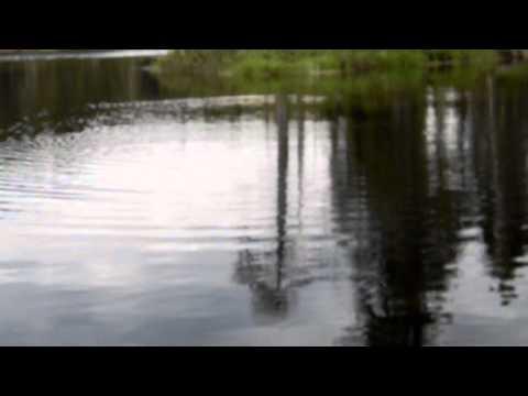Multiples attaques d'un brochet sur une grenouille appât