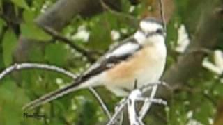 Video חנקן נובי - Masked shrike צולם בשומרון MP3, 3GP, MP4, WEBM, AVI, FLV Oktober 2018