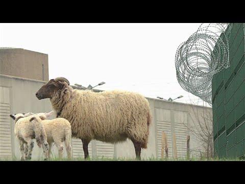 Schafe im Knast - als natürliche Rasenmäher