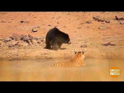 В мире. Схватка тигра с медведицей.  20.03.2018 - DomaVideo.Ru