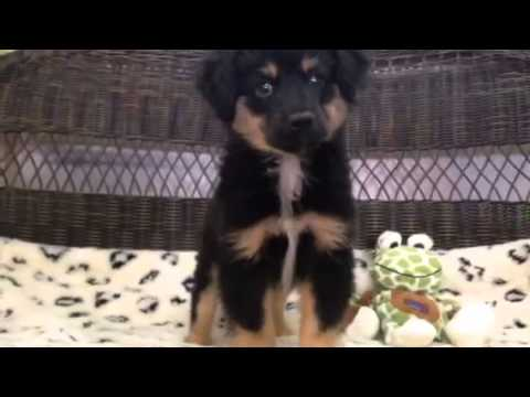 Stunning Black & Tan Male Mini Aussie!
