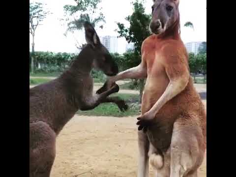 فيديو- شاهدوا انثى الكنغر تقوم تقبيل يد زوجها وارضاءه !!