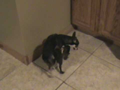Chihuahuas doing the nasty!! (VERY FUNNY)