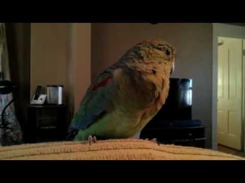 Khaleesi the Mulga Parrot