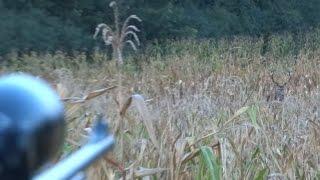 Video Hirsch rufen während Hirschbrunft - Cerf au brame - Wabienie jelenia byka  - Calling red stag MP3, 3GP, MP4, WEBM, AVI, FLV Agustus 2017