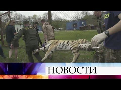 На Дальнем Востоке все готово к выпуску двух амурских тигров на волю. - DomaVideo.Ru