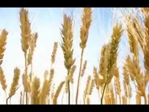 Standard Process  Refined Wheat