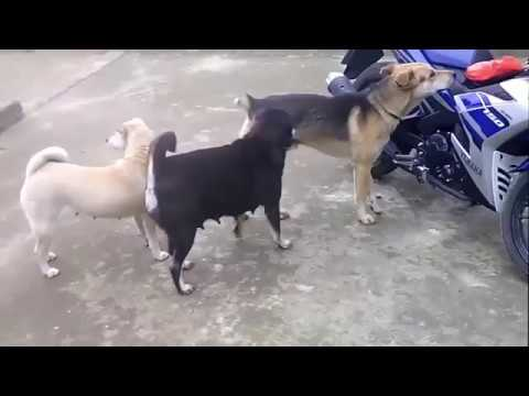 1 Male 2 female Dogs can not stop laughing (видео)
