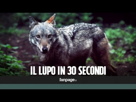 il lupo italiano: è vietato cacciarlo!