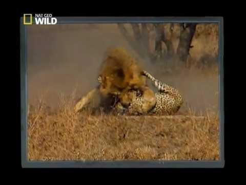 lions kill cheetah (Nat Geo Wild)