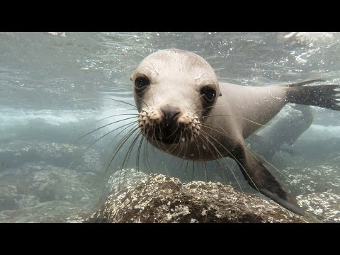 Gorgeous Footage of Gal pagos Sea Lions