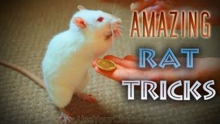 Amazing Rat Tricks montage