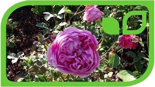 #968 Die Englische Strauch- und Terrassenrose Boscobel