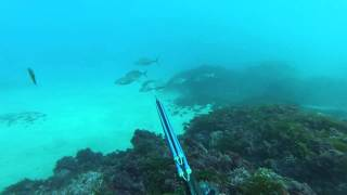 Norfolk island spearfishing good time's getting dinner.