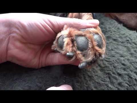 Wie schneidet man die Hundekrallen?