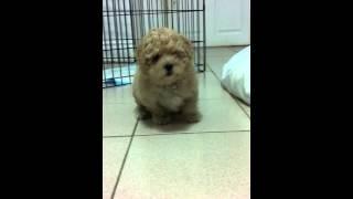 Curious Toy Poodle