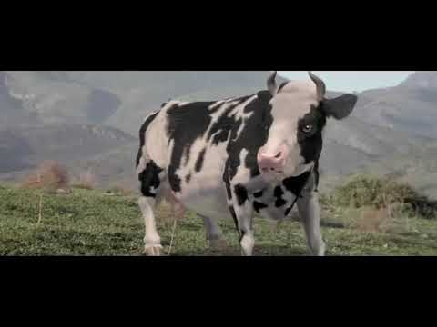 The funny man vs cow fighting