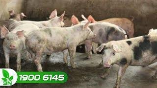 Chăn nuôi lợn | Nếu bệnh xoắn khuẩn gây hại cho lợn thì chữa kiểu gì?