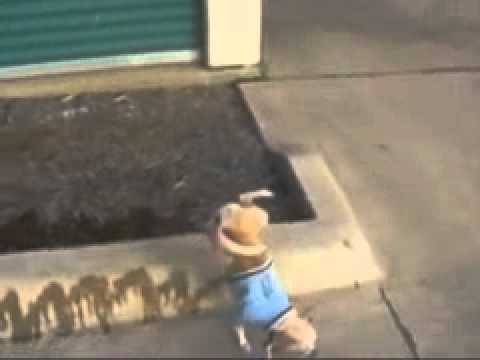 The amazing peeing chihuahua