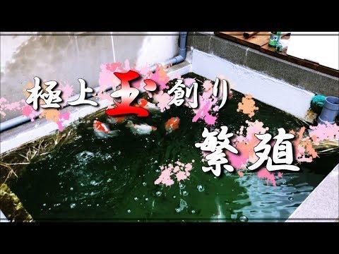 【第10話】玉サバ親魚投入!飼育を楽しみます(^^)