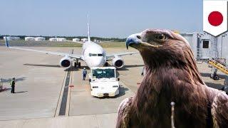鳥が航空機に衝突する「バードストライク」対策にタカを起用(ニュース)