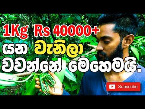 vanilla cultivation # වැනිලා වගාව # vanilla cultivation sri lanka
