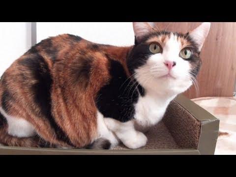 「[ネコ]爪研ぎをひたすらガリガリする猫の仕草がかわいい。」のイメージ